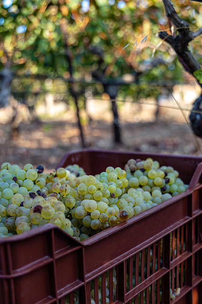 Biodynamic Chardonnay Wine Mallorca